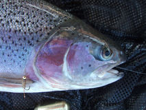 Rainbow trouts head with hares ear Royalty Free Stock Photos