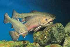 Rainbow trouts. The trio of rainbow trouts in water royalty free stock photos