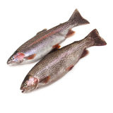 Rainbow trouts. Two rainbow trouts isolated on white studio background royalty free stock photo