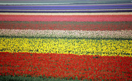 Rainbow Tulip Field Stock Photos