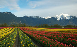Rainbow of tulips. In the field with snow mountain background stock photo