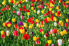 Rainbow of Tulips Stock Photos