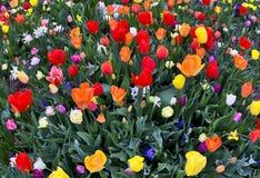 Rainbow Tulips royalty free stock image