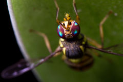 Rainbow wasp Stock Photography