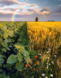 Rainbow in a wheat field Stock Photography