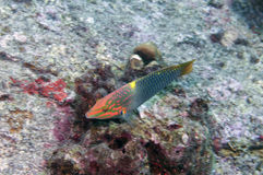 Rainbow wrasse Royalty Free Stock Images