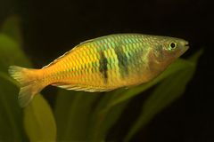 Rainbowfish Royalty Free Stock Photo