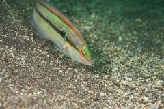 Rainbowfish de Multicolorfin Photos libres de droits