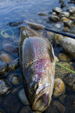 Rainbown trout Royalty Free Stock Image