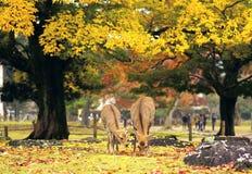Raindeeer em Nara fotos de stock royalty free