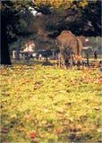 Raindeeer em Nara imagem de stock royalty free