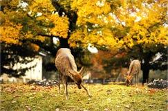 Raindeeer przy Nara Zdjęcia Stock