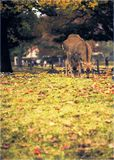 Raindeeer przy Nara Obraz Royalty Free