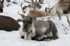 Raindeer Royaltyfria Bilder