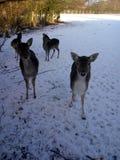 Raindeer. Animal in winter Stock Photos