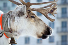 Raindeer and city Royalty Free Stock Photos
