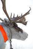 Raindeer from north Stock Images