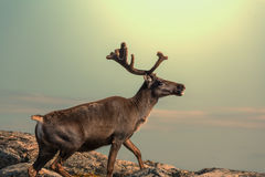 Raindeer Royalty Free Stock Photo