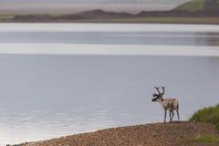 Raindeer sulla spiaggia sull'Islanda Fotografie Stock Libere da Diritti