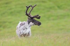 Raindeer, tarandus de Rangifer, mâle de caribou en été Photos libres de droits