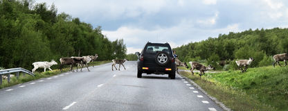 Raindeers crossing road, Sweden Stock Photos