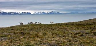 Raindeers op de kust van Svalbard stock afbeeldingen