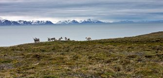 Raindeers on the seashore of Svalbard Stock Images