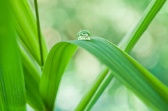 Raindrop on bamboo leaves Royalty Free Stock Photography