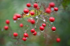 Raindrop on a branch with red berries. On green background Royalty Free Stock Photography