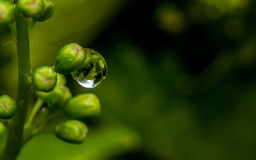 Raindrop on a bunch of grapes Stock Images
