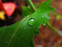 Raindrop on hibiscus leaf. Close up of raindrop on green hibiscus leaf Royalty Free Stock Photography