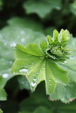 Raindrop II. Detail of lady's mantle after the rain Stock Photos