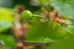 raindrop La cereza madura en un árbol verde en el verano Fruta en la rama en el jardín Fondo verde borroso naturaleza imágenes de archivo libres de regalías