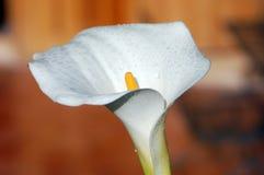 Raindrop Lily Stock Photo