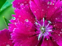 Raindrop na tęcz menchii kwiacie Fotografia Stock