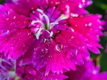 Raindrop na tęcz menchii kwiacie Obraz Royalty Free