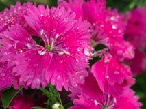 Raindrop na tęcz menchii kwiacie Zdjęcie Royalty Free
