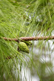 Raindrop on pine tree Royalty Free Stock Photos