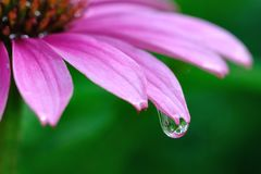 Raindrop on Purple Coneflower Royalty Free Stock Photography