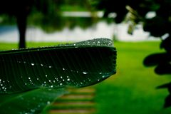 Raindrop. After raining and raindrop on banana leaf Royalty Free Stock Photo