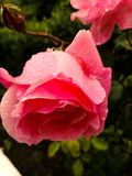 Raindrop Roses. A beautiful pink raindrops roses Royalty Free Stock Images