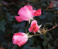 Raindrop Roses. Raindrops covering little pink roses Royalty Free Stock Photography