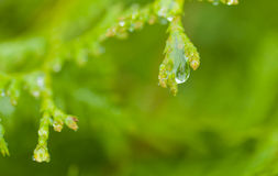 Raindrop on a white cedar twig Stock Image
