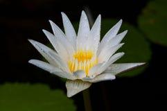 Raindrop on white lotus Stock Photo
