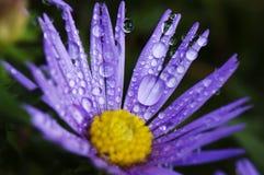 raindrops астры Стоковые Фото
