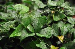 raindrops листьев плюща Стоковое фото RF