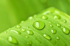 raindrops листьев предпосылки зеленые Стоковое Изображение RF