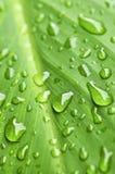 raindrops листьев предпосылки зеленые Стоковые Фотографии RF