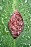 raindrops листьев Стоковое Фото