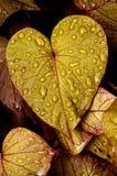 raindrops листьев Стоковые Изображения RF